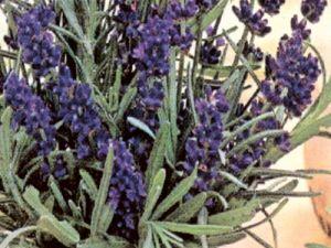 Lavender Vera
