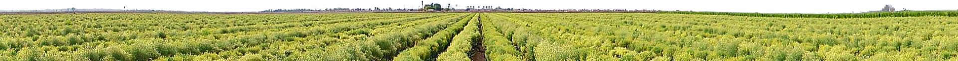 Broccoli Field