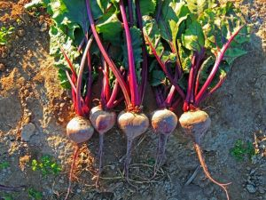Beet Early Wonder Tall Top