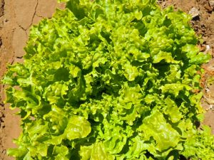 Salad Bowl Greens