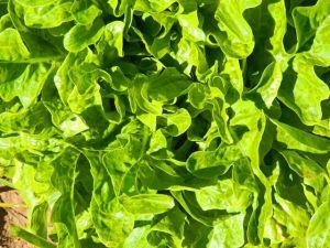 Oakleaf Green
