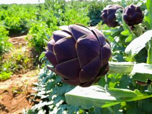 Artichoke Purple Romagna