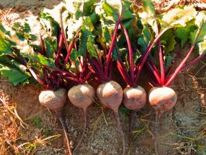 Beet Red Atlas