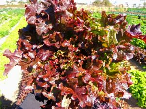 Red Salad Bowl