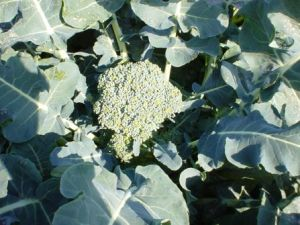 Organic Green Calabrese