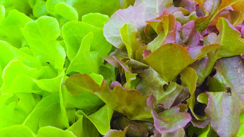 baby leaf seeds